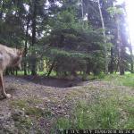 Dieser junge Wolf war im Waldgebiet der Gemeinde Bönningstedt unterwegs