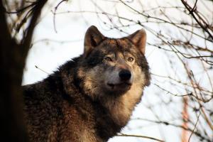 Weite Strecken legt ein Wolf in nur einer Nacht zurück: So kann er innerhalb eines kurzen Zeitraums an mehreren Orten gesichtet werden. Foto: Margit Völz / pixelio.de